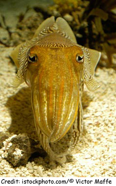 Cuttle-fish-photo